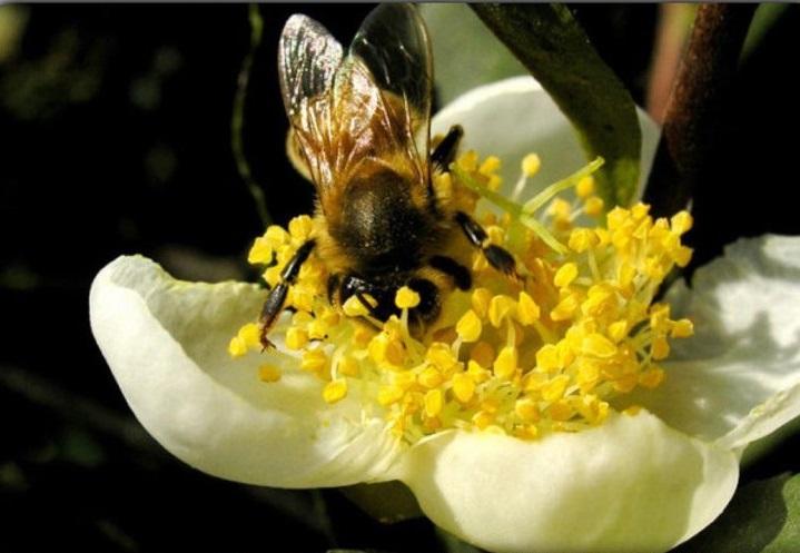 сбор нектара пчелой