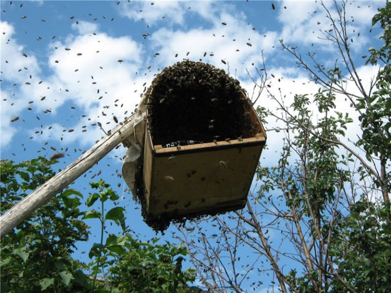Как поймать пчелиный рой – инструкции и рекомендации